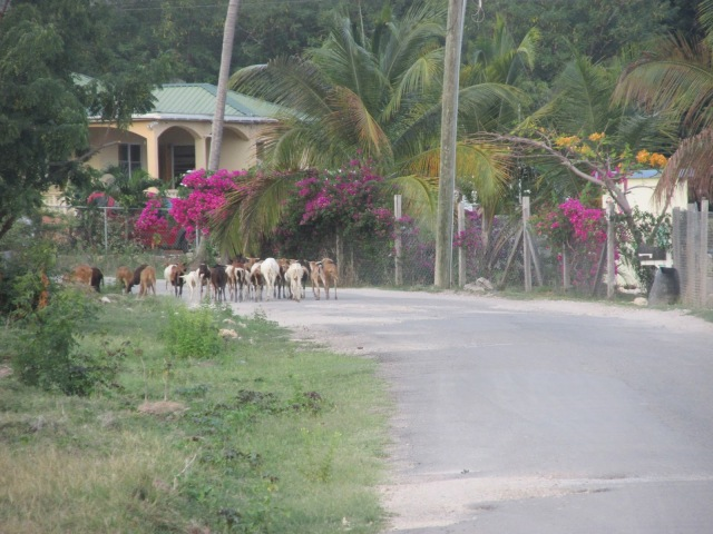 Early morning goat herding in Antigua