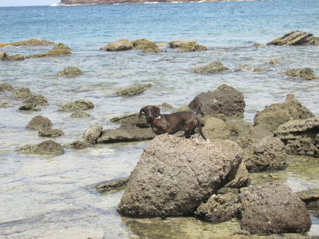 dog hunting for crabs
