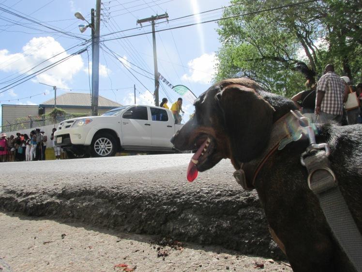Dog in St. John's Antigua