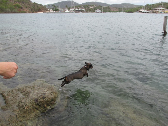 Dog swimming in English Harbour