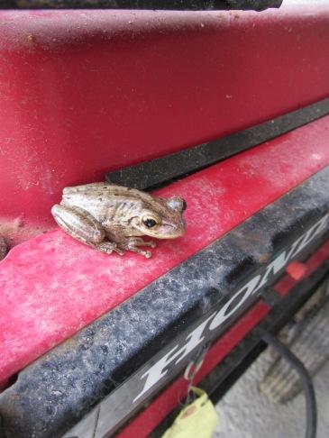 Tree frog, Antigua