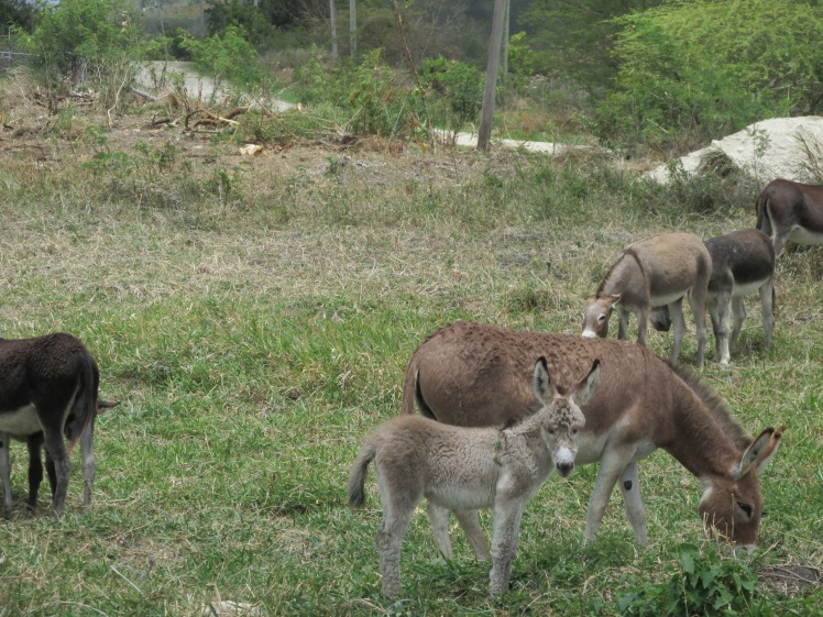 Donkeys in Antigua