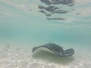 Stingray underwater