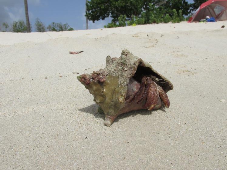 Hermit crab, Darkwood Beach