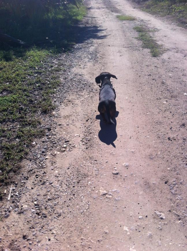 Dachshund walks