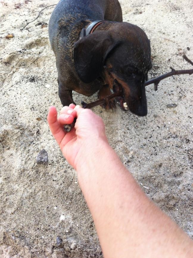Dog holding onto stick