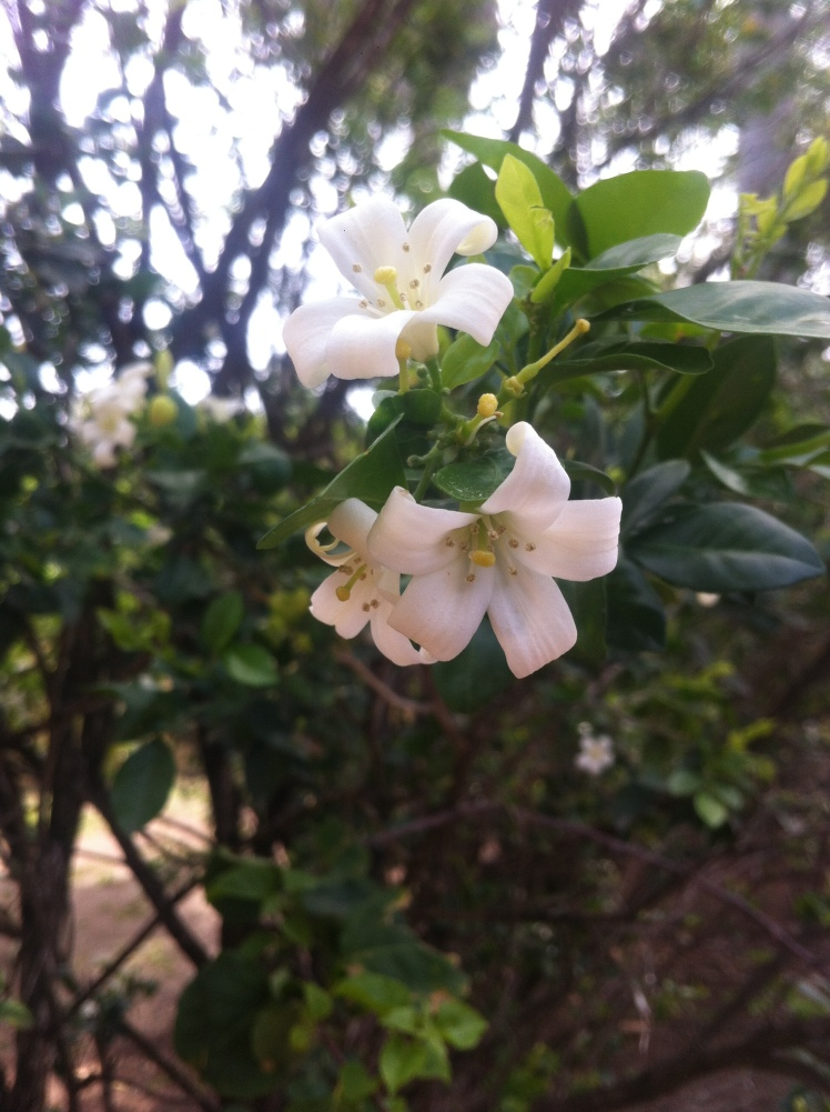 Jasmine flowers in bloom