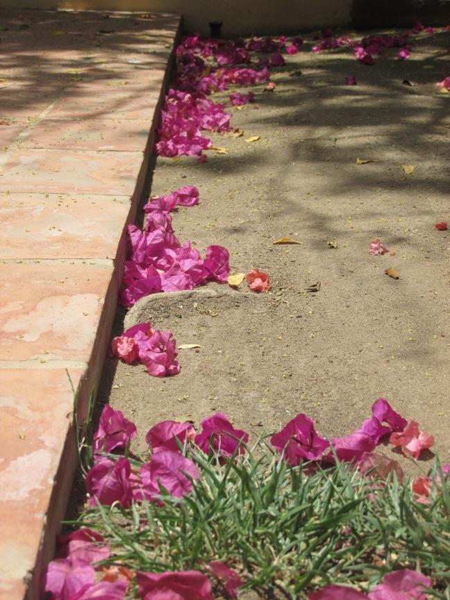 Bougainvillea, still beautiful even when it falls down