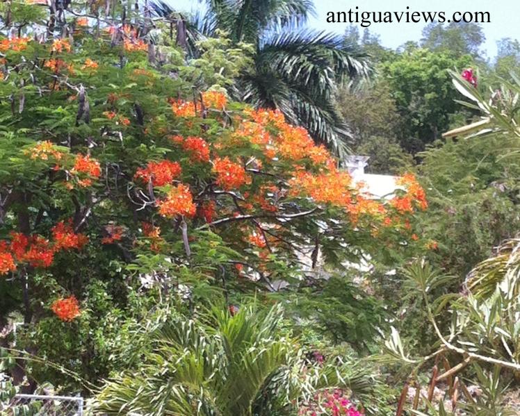 Bougainvillea in Antigua